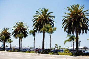 Queen palms are often planted in rows lining streets or walks.