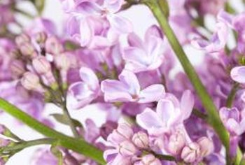 Cut lilacs last longer when stored away from direct sunlight.