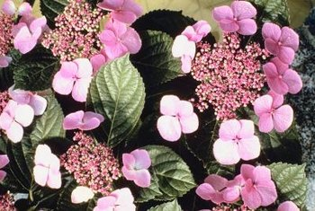 Pick a hydrangea cultivar that offers your preferred blossom color.