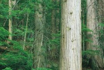 Cedar is a wood commonly used to make fencing.