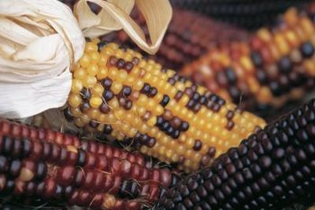 Black Aztec corn matures in 75 days.