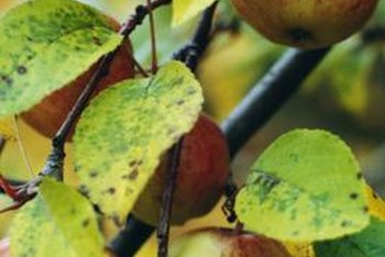 A healthy fruit tree not under drought-stress is most vulnerable to herbicide.