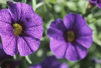 Harvest brightly colored petunias for indoor display.