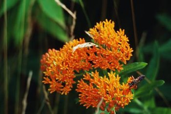 Butterfly weed is an important source of food for butterflies, including Monarchs.