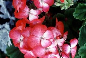 Some geraniums have fragrant leaves.