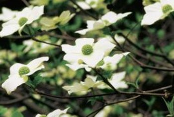 Dogwoods are best known for their flowers, which appear in spring.