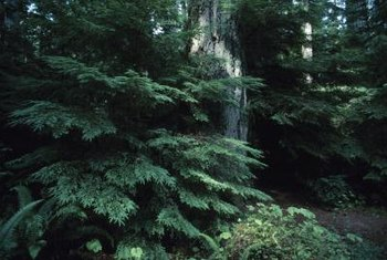 Choose evergreens wisely for shady spots in your yard.