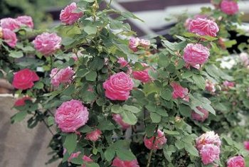 Even tiny pests can do big damage on rose bushes.