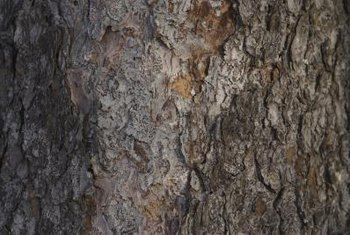 Pycnogenol is the brand name of an extract of maritime pine tree bark.