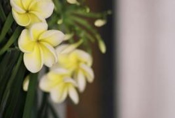 Plumeria is typically planted on patios or in borders, or used as a stand-alone ornamental.
