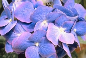 Change your soil, and change your hydrangea's color.