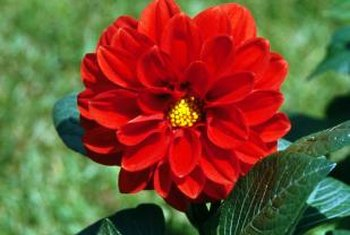Proper winter care ensures dahlias remain perennial.