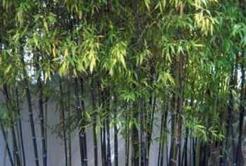 Bamboo forms a thick screen as it matures in the landscape.