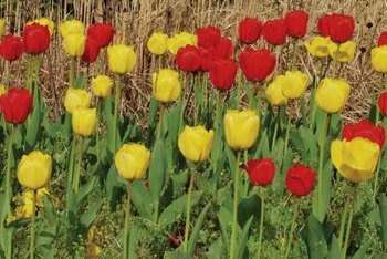 Plant tulip bulbs in clusters.