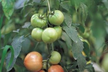 Take your tomatoes to fully ripe, even if an early frost hits.