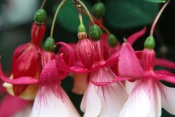 Some varieties of hardy fuchsia thrive in foggy, damp weather.