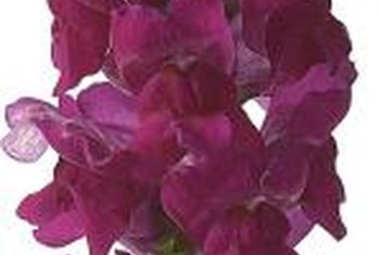 Angelonia can be grown as an annual or perennial.