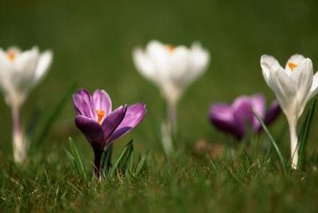 Colorful crocus blooms poking through a lawn add texture, color and interest.