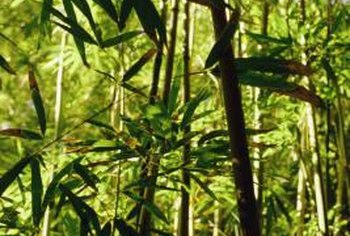 The tallest bamboo recorded was nearly 140 feet tall.