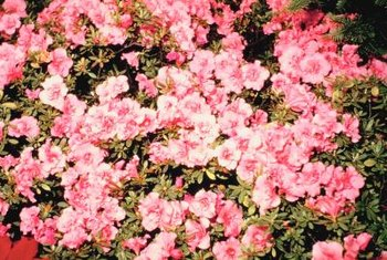 Azaleas need acidic, well-draining but moist, organically rich soil.