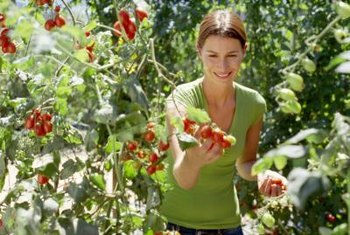 Tomatoes have to be removed properly to prevent damaging them.