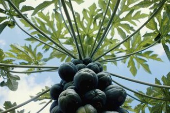 For home growers, a papaya tree's life is short but sweet.