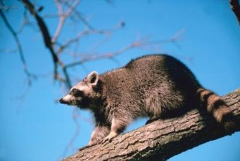 Raccoons and oposums can climb into gardens.