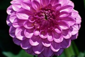 Dahlias often produce large, vibrant blossoms.