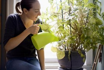 Always water your potted plant immediately after fertilization.