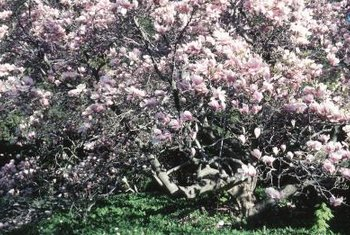 Southern magnolias are known for their full canopies and saucer-shaped blossoms.