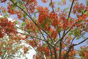 The flamboyant tree is also commonly called flame tree.