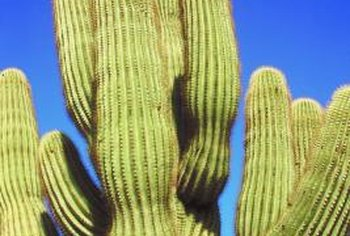 An old saguaro can have 25 or more arms.