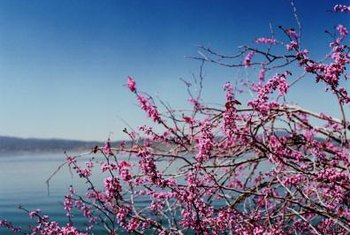 Western redbud is among the earliest trees to flower in late winter.
