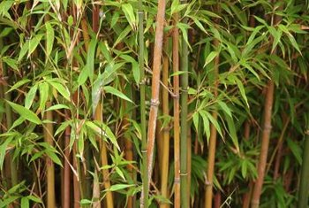 Bamboo will grow into a thick stand quickly, hiding busy streets.