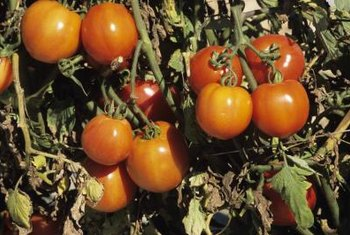 Tomatoes often crack when rainfall follows a dry period.