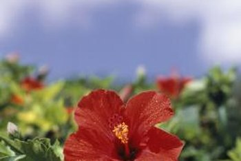 Hibiscus plants produce many buds, but individual blooms only last about a day.