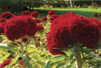 Cockscomb flowers come in red, purple, orange, pink and yellow varieties.