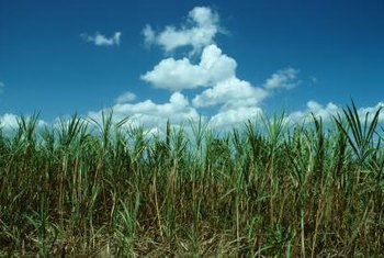 Closely spaced sugar cane sometimes functions as a backyard windbreak.