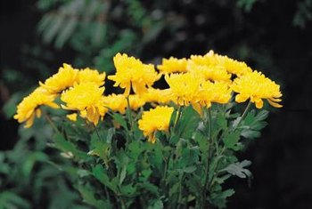 Some pests feed on chrysanthemum flowers as well as foliage.