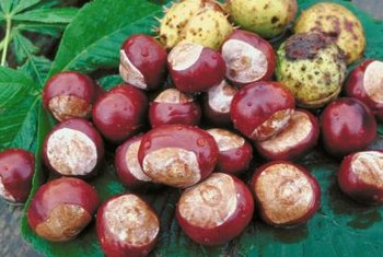 The round, nut-like seeds give buckeye its name.