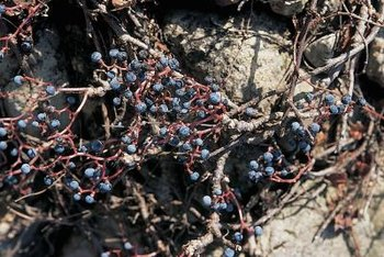 In the wild, grapevines that are not supported sprawl on the ground.