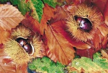 The shells around chestnuts, known as burs, split when ripe.