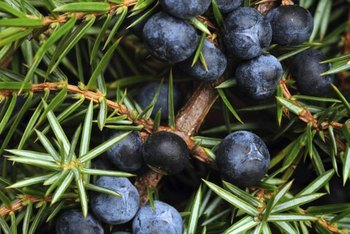 Junipers have small purple-blue berries.