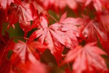 The slow-growing Japanese maple may be grown in the landscape or as a bonsai.