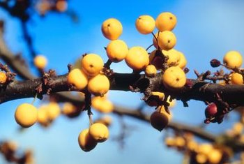 Several thorny plants that produce yellow berries.
