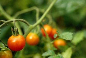 The color of the tomato is one of the best ways to tell if it's ready for harvest.