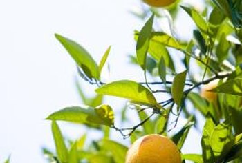 Fertilizer and proper watering keeps orange trees healthy enough to withstand many pests.