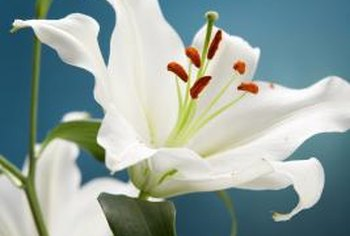 Staking protects the lily from breaking due to wind, rain or the weight of the flower.