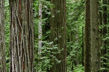 Coast redwoods are highly shade-tolerant conifers.