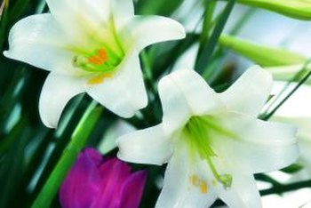 Easter lilies are popular additions to cut flower arrangements.